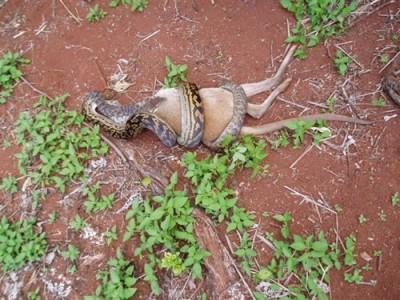 20080330050838-boa-canguro.jpg