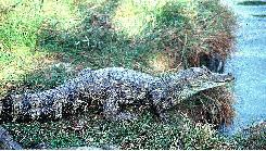 20071219210051-spectacled-caiman.jpg