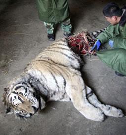 20080422231518-tigre-siberiano-muerto.jpg