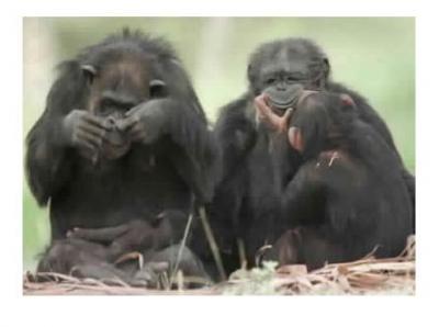 20090408212349-chimpances.jpg